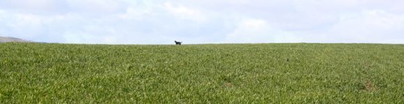What larks! Bertie vanishes over the English horizon chasing birds in the winter wheat