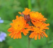 The brilliant colour of Fox and Cubs