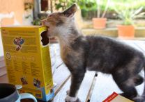 Skinny, fearless kitten determined to get at the cat biscuits