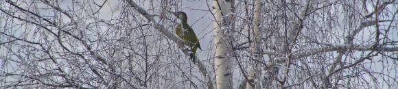 The Yaffle - a green woodpecker