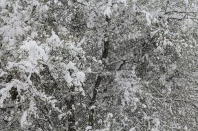 Mirabel tree blossom frozen by late snow