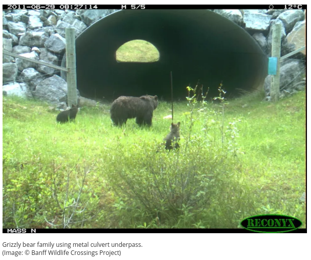 Bears Use Wildlife Crossings to Find New Mates