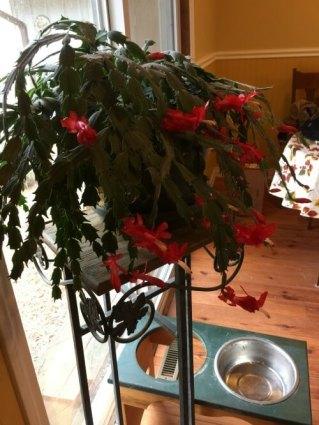 christmas-cactus-dec-2016