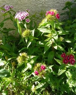 Garofite turcesti / Dianthus