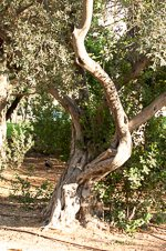 Olive Tree in Talbiya
