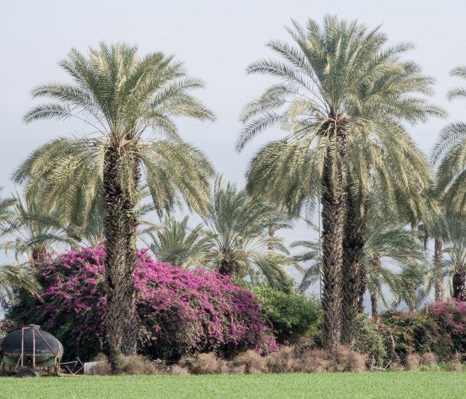 More palms and bushes near Kibbutz Dagania Alef.