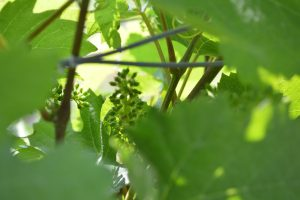 Photo of grape vines in early Spring