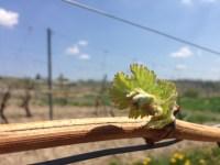 Photo of a grape vine bud
