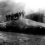 Sperm whale at Leith Harbour, South Georgia, 1913