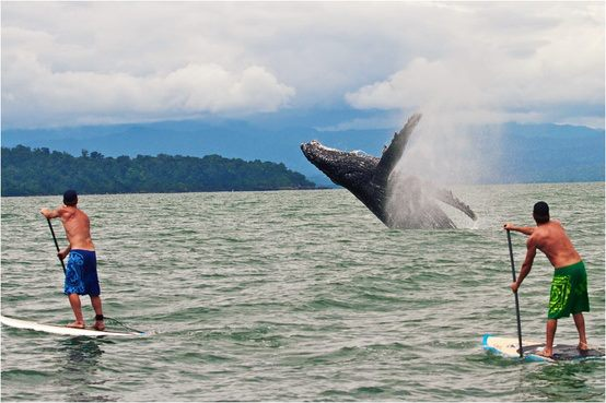 Huge whale breaching the water next to standup paddlers