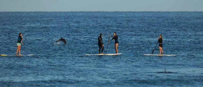 dolphin jumping next to standup paddlers