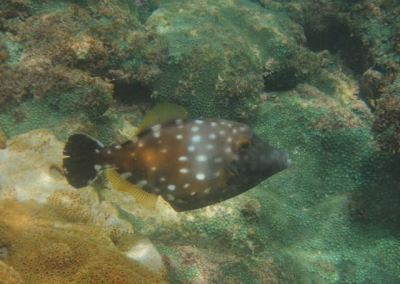 White Spotted File Fish