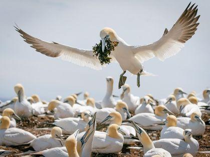 gannet-nest-building_91720_990x742