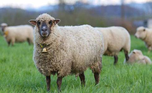 ovca-zvono