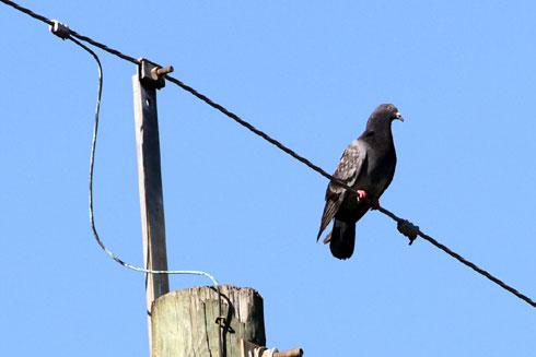 golub-struja