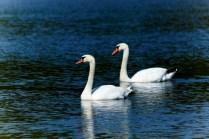 Лебединая пара... Станьково... Лето 2011. Фото Ильи Бражникова