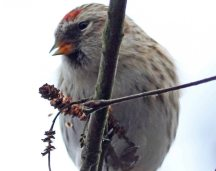 Common redpoll by Liron Gertsman