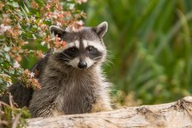 Raccoon by Don Enright.