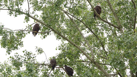 Eagle family at Strathcona Park. You can tell the two fledgling eagles apart from their parents as they do not yet have their white heads.