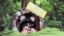 Raccoon interpretive station at Prospect Point 2