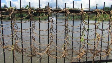 Crochetting English ivy on fence