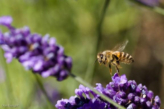 Flight of the Honeybee