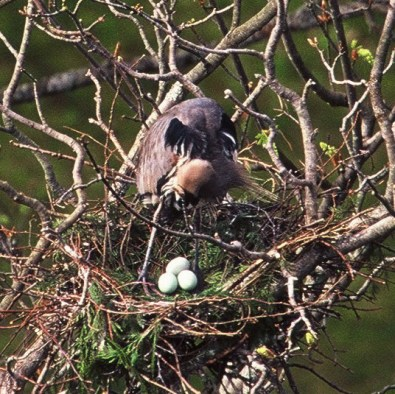 Andrew Waddy Heron nest with eggs