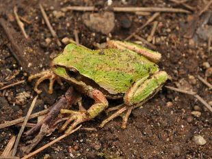 638px-Pacific_Tree_Frog_(Pseudacris_regilla)_3