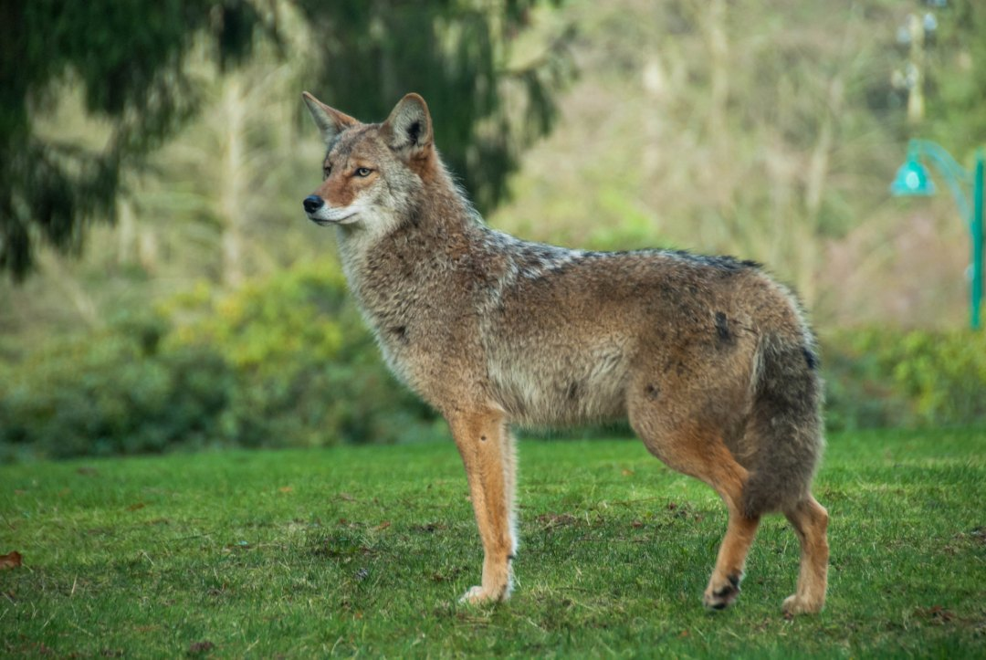 An adult coyote at attention