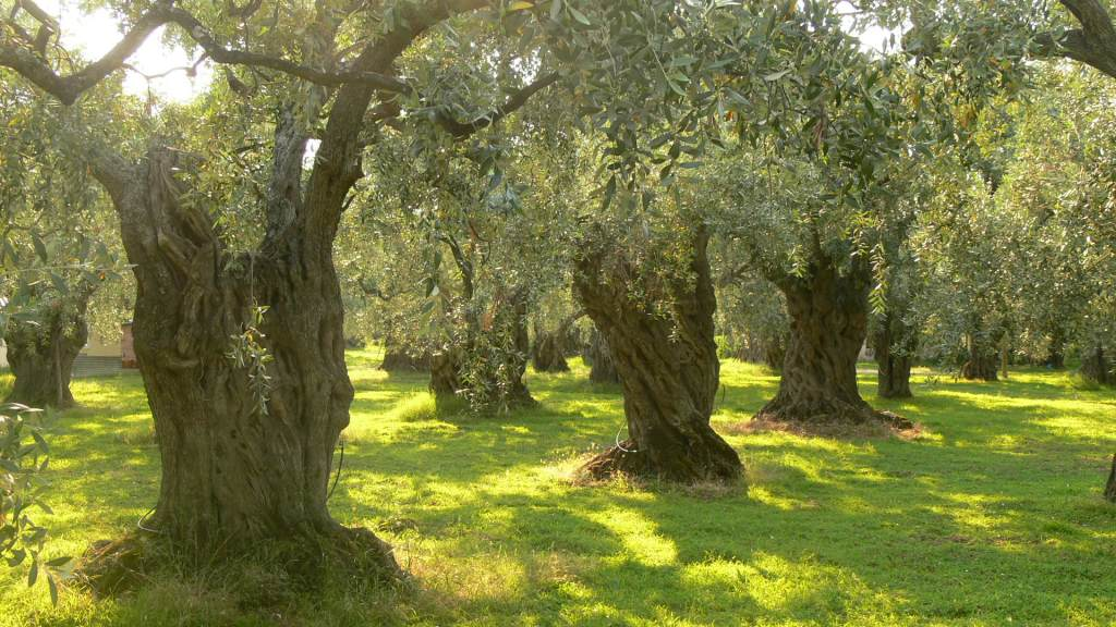 A Green Olive Tree