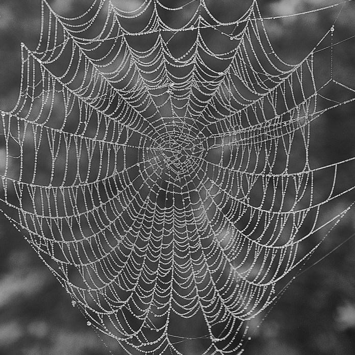 Primrose spider web fog fog