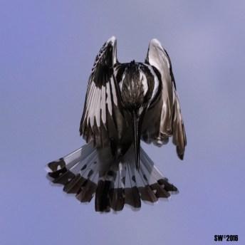 Kingfishers 1