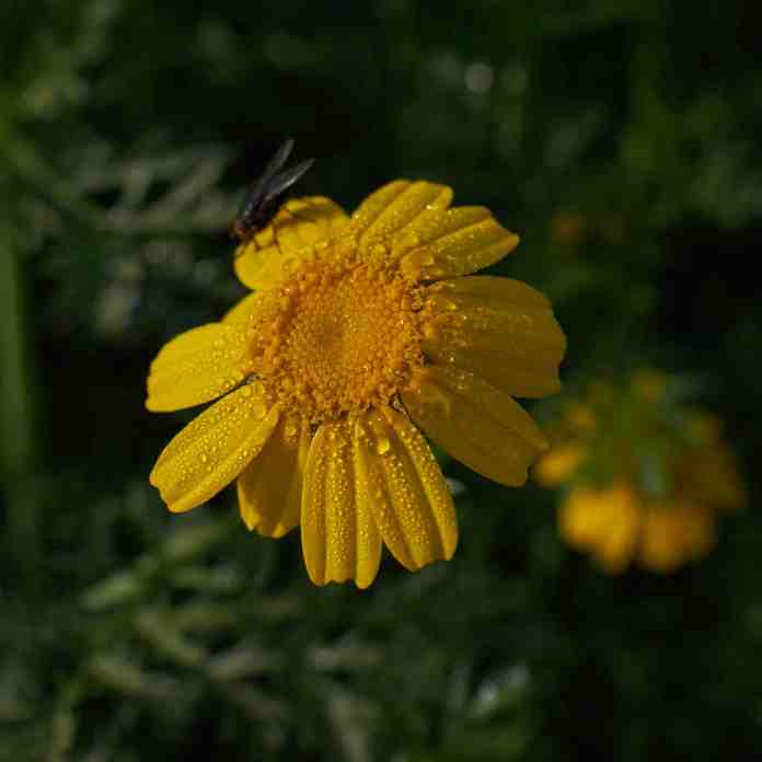 Yellow flower and fly