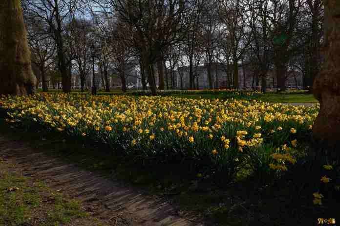 Daffodils Hyde Park.jpg