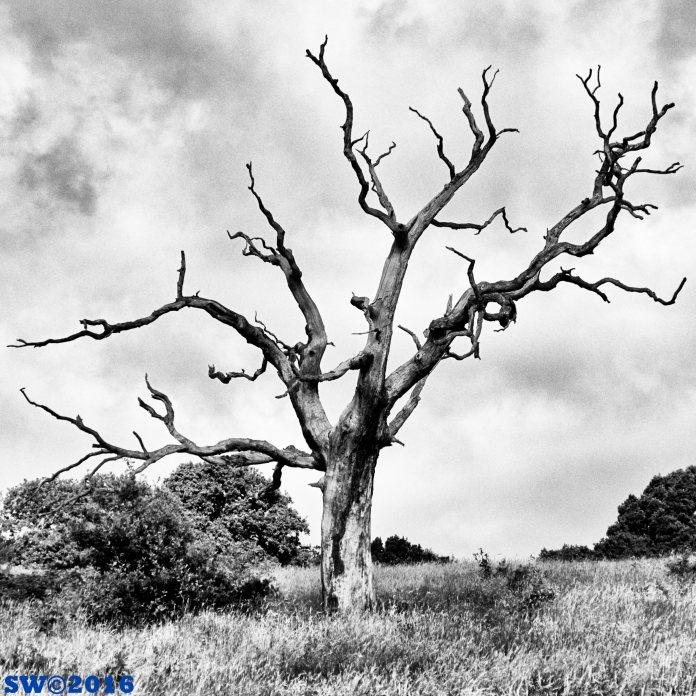Dead tree, Hampstead Heath
