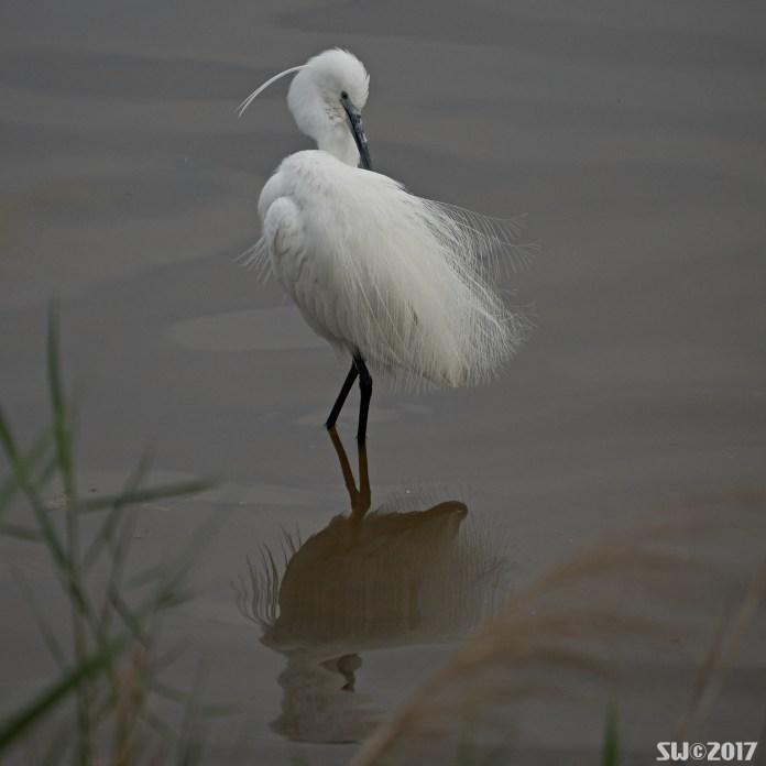 Preening egret.jpg
