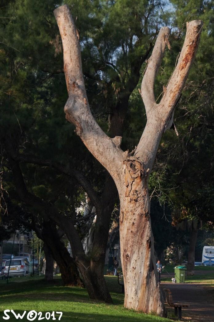 Tree in Yarqon Park