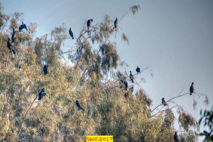 Cormorants 1