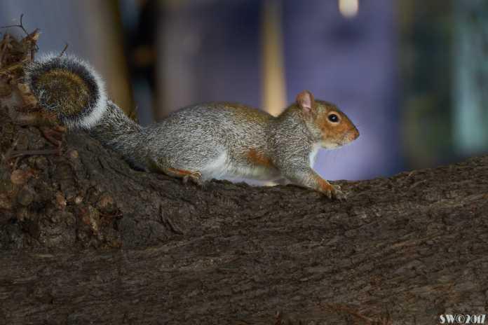 Squirrel Haverstock