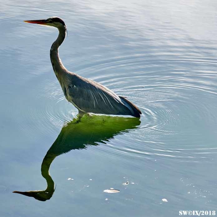 DSCF3093 Heron