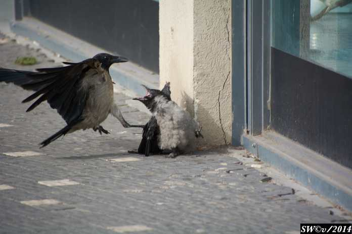 Crow and crow