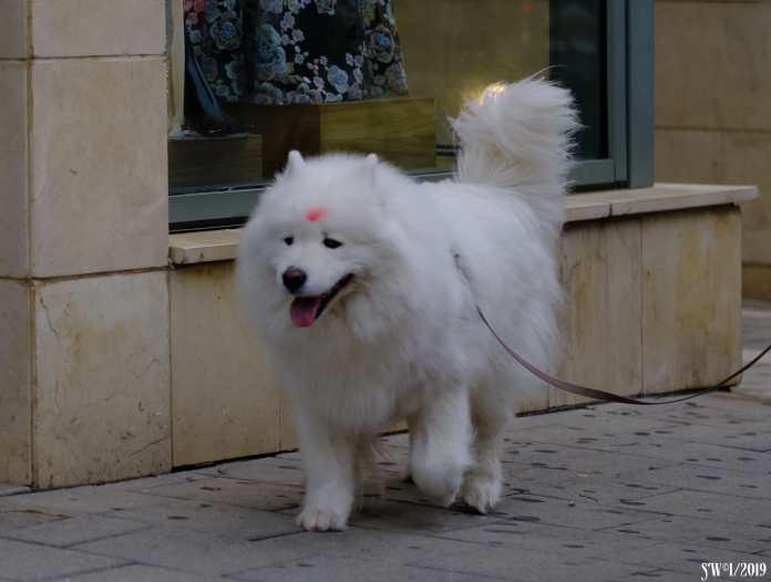 hindu hound