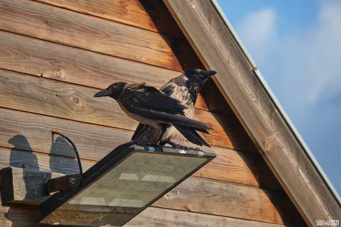 Crows pose