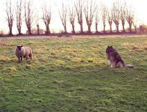 the ram and Phex on the meadows
