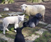 Shaun, Berta, Rudi und Stirnlöckchen, der es nach dem Geburtsunfall irgendwie nicht mehr so gut geht, eigenes Foto, Lizenz:CC by