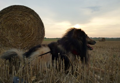 Phex posing with a round straw bale under the setting sun. Own photo, licence: CC by-SA/ Creative Commons Attribution-Share Alike 3.0 Unported