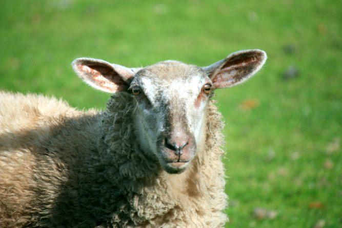 Sheepish?