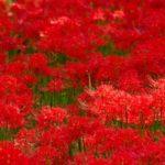 彼岸花の花言葉は?怖い花?赤・白・ピンクと色によって意味が違う。