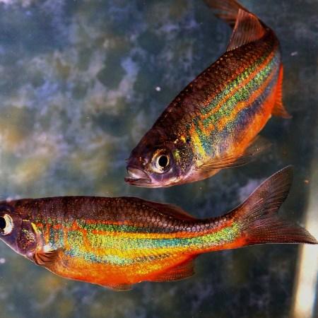 Pisces - fish swimming