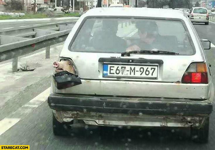 Pig Looking Through Volkswagen Golf Tail Light Starecat Com